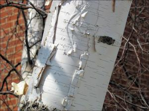 white paper birch bark peeling like paper showing why its named paper birch
