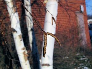 paper birch twig