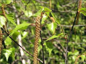 paper birch flowers