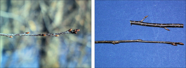 two examples of black cherry twigs and buds - dark bark with light spots