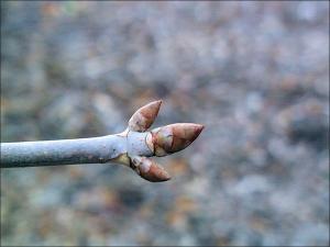 ohio buckeye twig