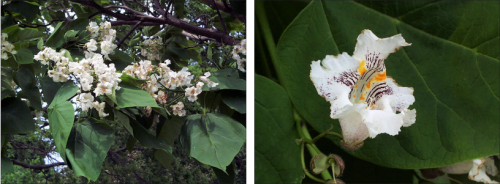 grouping of white catalpa flowers and close up of single flower showing dark central stripes and yellow orange central spots