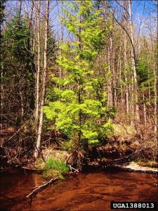 northern white cedar tree in the woods at the edge of water
