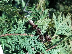 northern white cedar small, brown, flower-like fruit