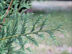 northern white cedar leaf