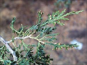 eastern redcedar twig