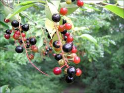 red and black black cherry berries