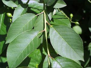 Black Cherry Natural Resource Stewardship