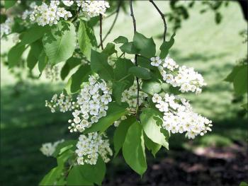 common choke cherry small white flowers