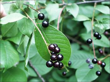 common choke cherry berries
