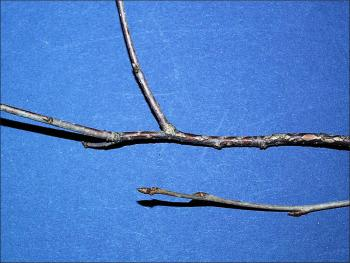 common choke cherry twigs