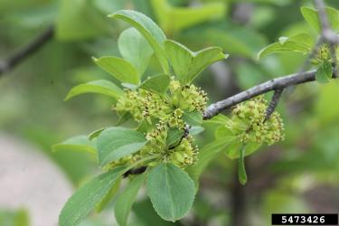 common buckthorn flowers on plant