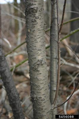 young speckled common buckthorn bark