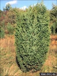 common juniper tree