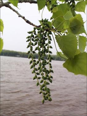 cluster of eastern cottonwood fruit on a twig with leaves