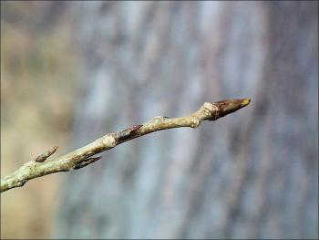 eastern cottonwood twig
