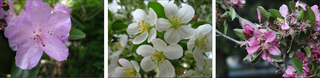 three varieties of crab apple flowers - two pink and one white