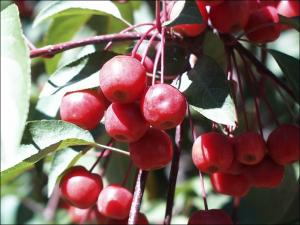 Small, red, berries on crab apple tree