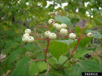 small, white, berry-like roughleaf dogwood fruit