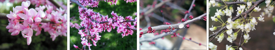 eastern redbud flowers, examples of pink, pink and white, and white variations as well as small pink buds