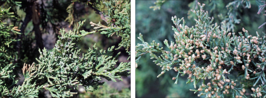 side by side view of eastern redcedar flowers, young on the left and fully developed on the right