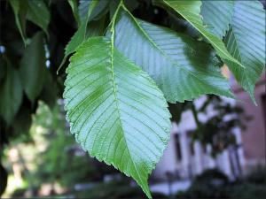 closeup view of American elm leaves