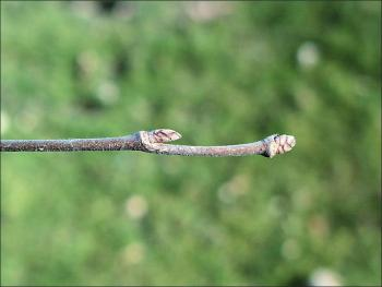 twig and buds from American elm tree