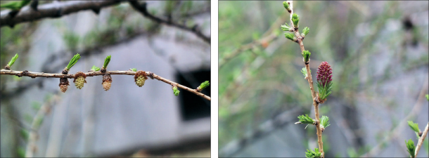 side by side images of white european larch flowers and a pink european larch flower