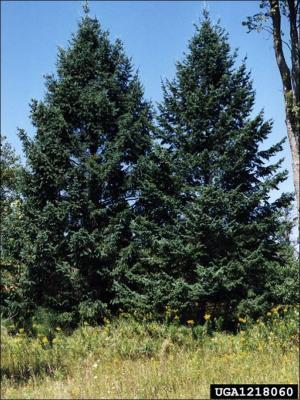 two douglas fir trees
