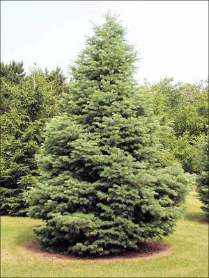 white fir tree