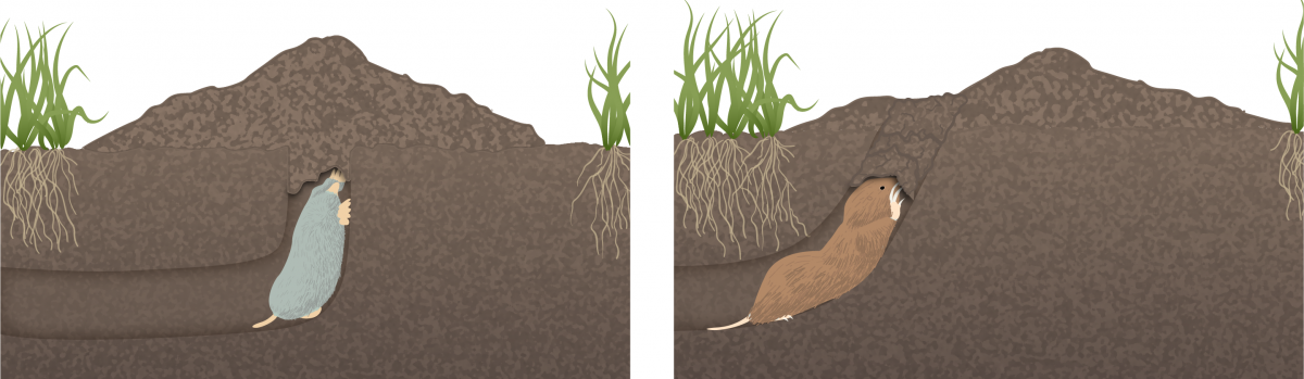 side by side comparison of volcano shaped mole mound and crescent shaped gopher mound