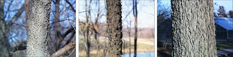 three variations of rough, bumpy hackberry bark