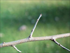 hackberry twig