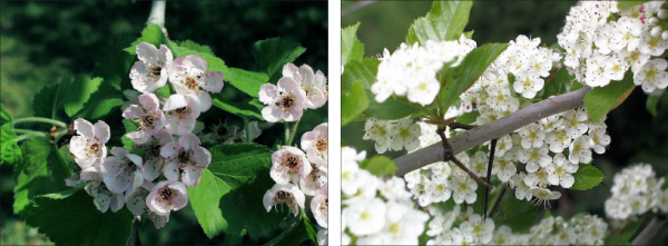 two varieties of hawthorn flowers, one white and pink and one pure white