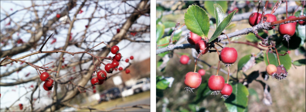 two varieties of red hawthorn berries, one small and shiny, one larger and matte