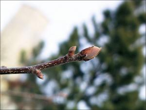 shagbark hickory twig