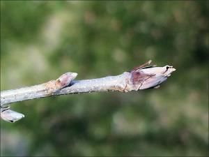 shelbark hickory twig
