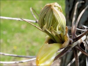 shellbark hickory budding leaves