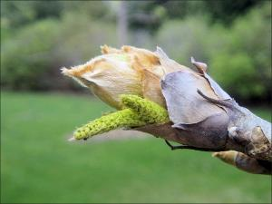 shellbark hickory flowers