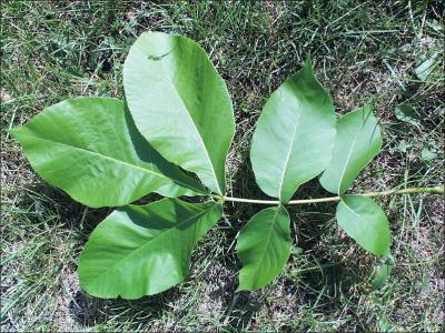 shellbark hickory twig with leaves