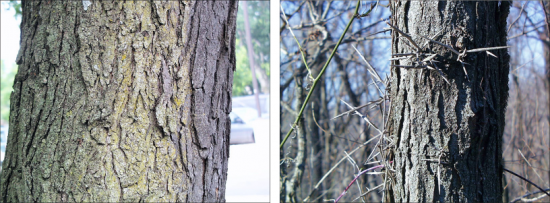 side by side views of honey locust trunks showing bark and thorns