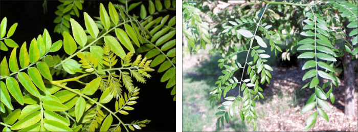 side by side views of light green and dark green honey locust leaves