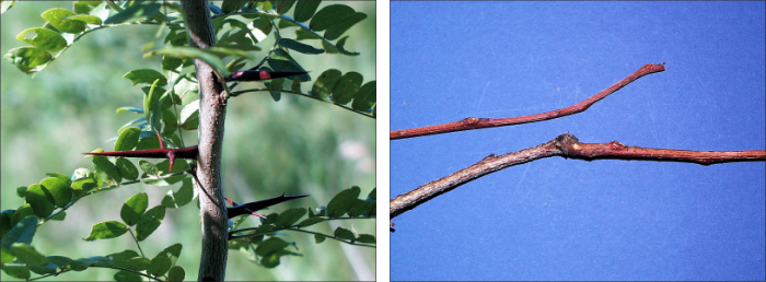 side by side images of honey locust twigs showing variation in color from brown to red