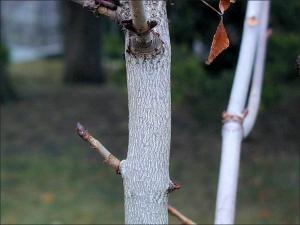 horse chestnut trunk showing bark
