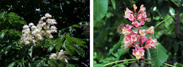 side by side images of white and pink horse chestnut flowers and pink and white horse chestnut flowers