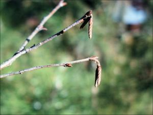 ironwood twig