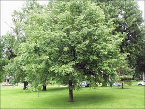 summertime ironwood tree with leaves