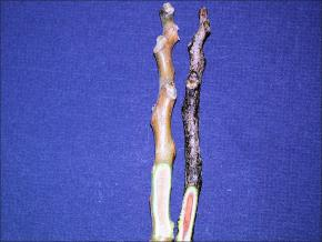 two kentucky coffeetree twigs, one dark brown, one light brown, both cross sectioned on the lower half to show inner wood under the bark