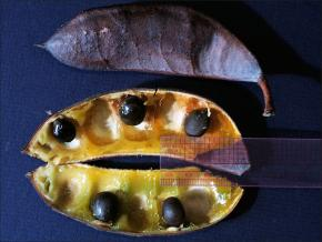 dark kentucky coffeetree pods, one broken open to show dark seeds inside
