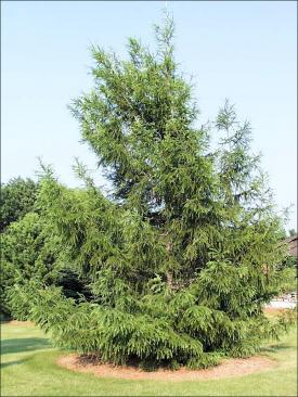 european larch tree in the summer with green leaves